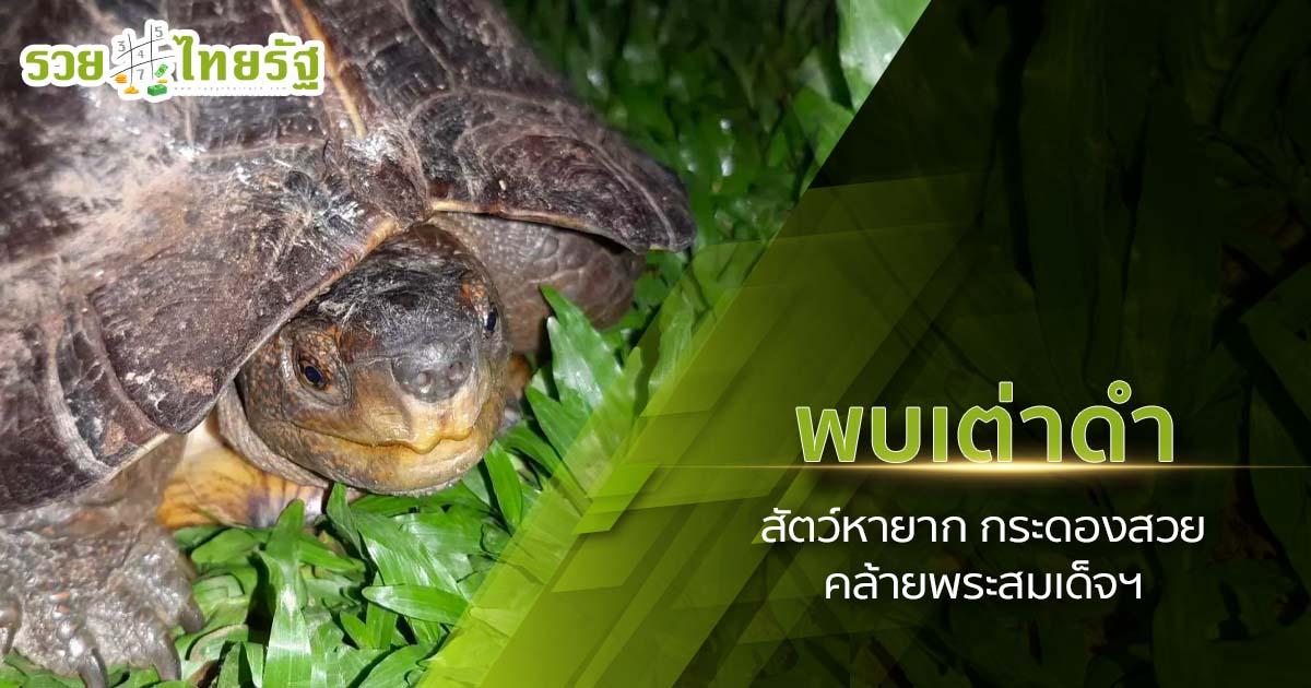 พบ เต่าดำ สัตว์หายาก เชื่อให้โชคลาภ และเป็นสิริมงคล