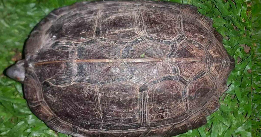 พบ เต่าดำ สัตว์หายาก กระดองคล้ายพระสมเด็จฯ